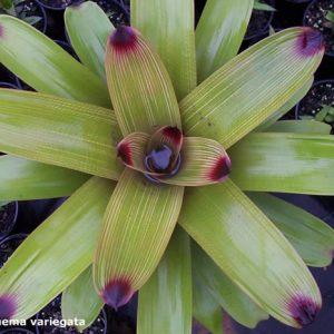 Vriesea platynema variegata