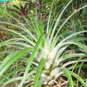 Tillandsia utriculata giant