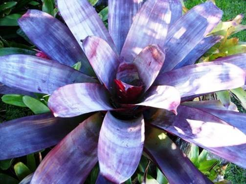 Alcantarea imperialis rubra – Silver plum