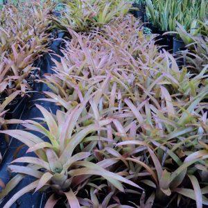Hohenbergia catingae