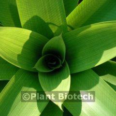 Vriesea platynema