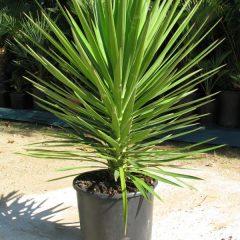 Yucca aloifolia (Dwarf Yucca)