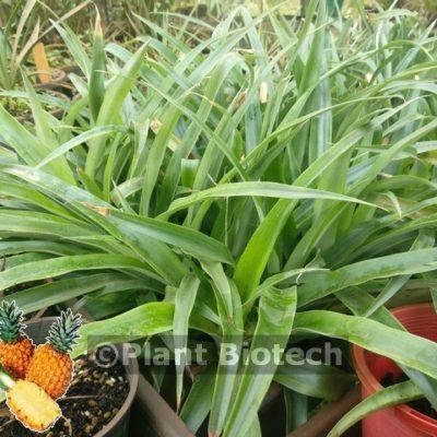 Pineapple 73-50