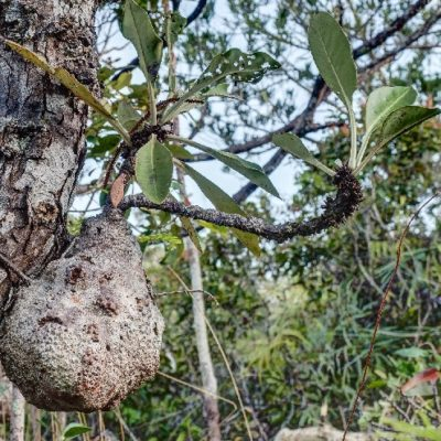 Anthorrhiza sp.