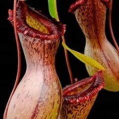 Nepenthes ventricosa hybrid