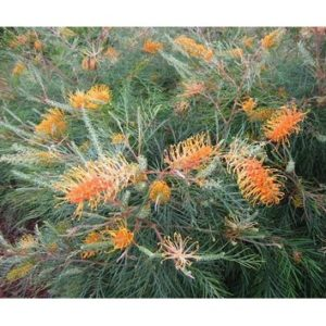 Grevillea honey gem