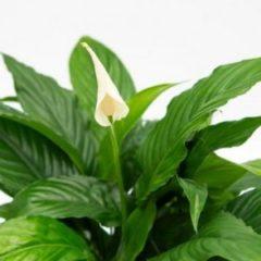 Spathiphyllum sweet chico
