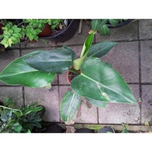 Philodendron tatei