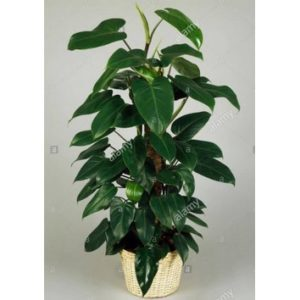 Philodendron emerald