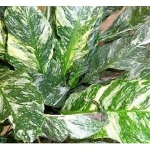 Spathiphyllum domino variegated