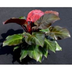 Philodendron McColleys
