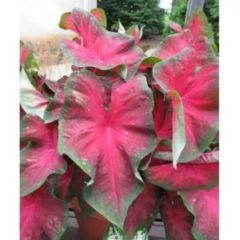 Caladium red belly