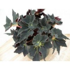 Begonia black fancy