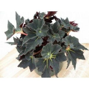 Begonia black fancy