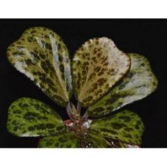 Begonia blancii – Mottled
