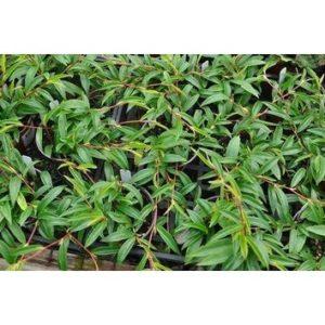 Begonia polygonoides