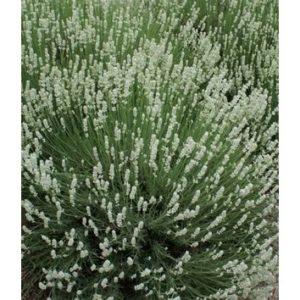 Lavandula angustifolia (white)