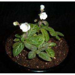 Phinaea multiflora 'Tracery'