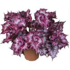 Begonia tie dye