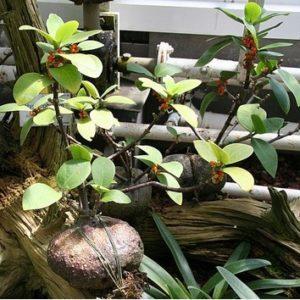 Myrmecodia albertisii
