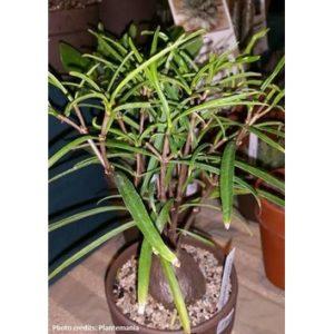 Hydnophytum sp. – small leaf