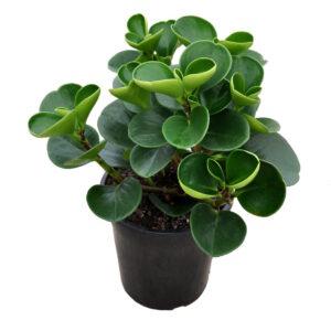 Peperomia obtusifolia jade