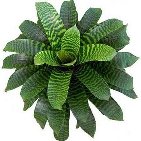Vriesea heiroglyphica